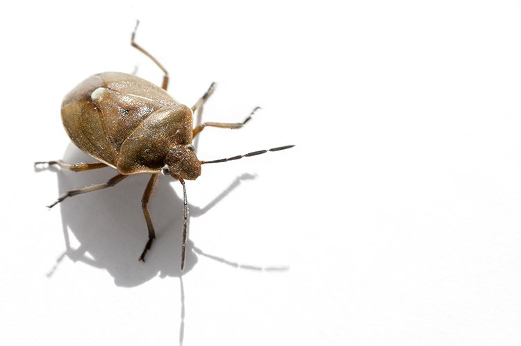 Stink Bugs Stinking Up The US