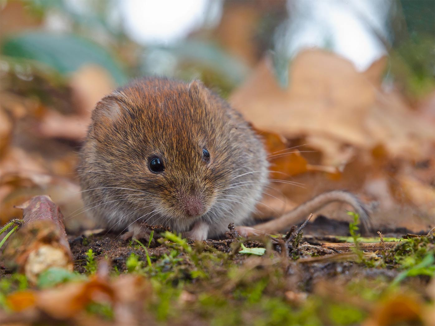 pest control for voles